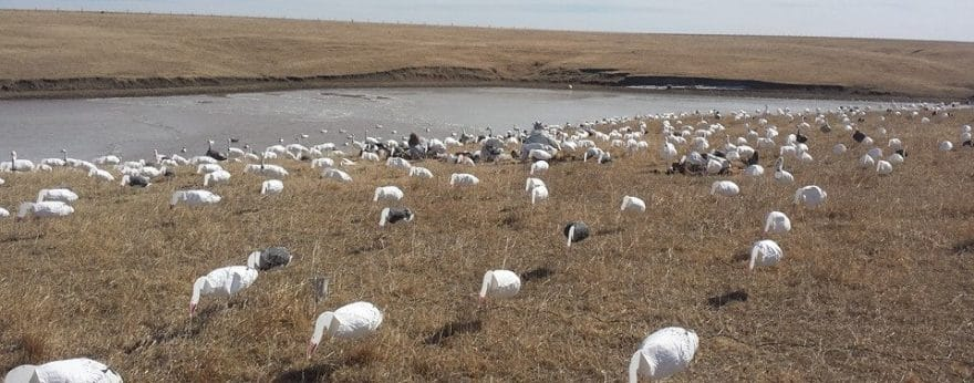 Hunting Snow Geese