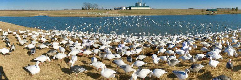 Snow Goose Water Decoy Spread