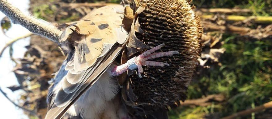 Dove Hunting Band