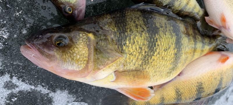 Big Perch While Ice Fishing