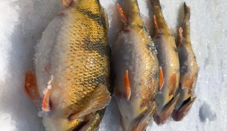 Jumbo Perch Ice Fishing