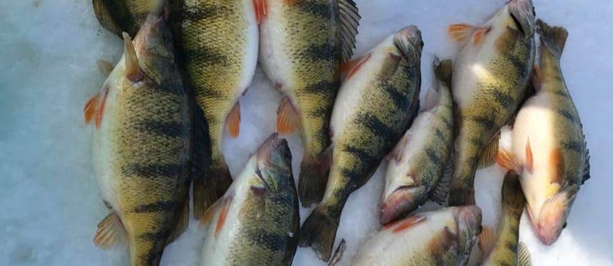 best perch ice fishing